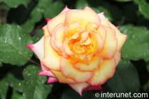 yellow-with-pink-edges-rose