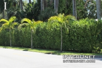 hedge-fence-with-evergreen-trees