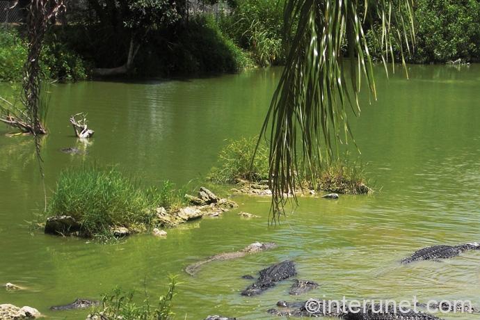 alligators-in-everglades-farm