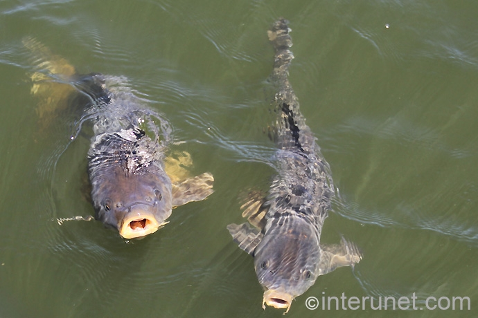 carps-in-the-pond