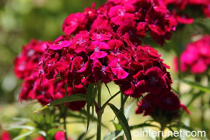 dianthus-barbatus-sweet-william