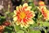 Dalaya Shiva, Aster Family (Asteraceae)