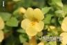 Monkey Flower Mimulus Hybrid 'Atlantis Mix'