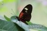 Postman-Butterfly-Heliconius-Melpomene-South Africa