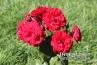 Rosa 'Europeana' Floribunda Rose, Rose Family (Rosaceae)