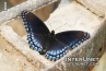 amazing-dark-butterfly
