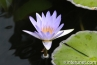 amazing-purple-water-lily