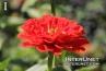 amazing-red-flower