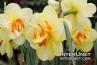 amazing-yellow-daffodils