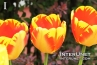 beautiful-tulips