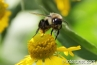 bumble-bee-on-the-flower
