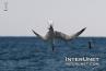 common-tern-fishing-Florida-beaches-birds