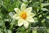 Dahlia 'Clair De Lune' Aster Family (Asteraceae)