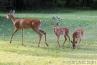 deer-with-her-babies