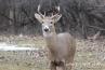 deer-with-antlers