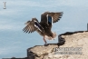 duck-is-taking-off-the-pier