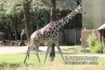 giraffe-in-Brookfield-Zoo