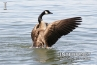 goose-on-the-lake