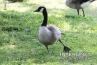 goose-stretching-leg