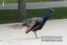 beautiful-peacock