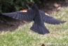 flying-red-winged-blackbird