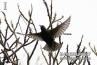 starling-flying