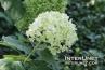white-flower-ball