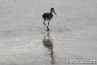 willet-bird-Atlantic-ocean