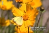 yellow-butterfly-on-yellow-flower
