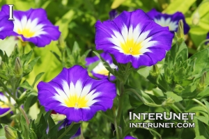 Convolvulus tricolor 'Blue Ensign' Dwarf Morning Glory