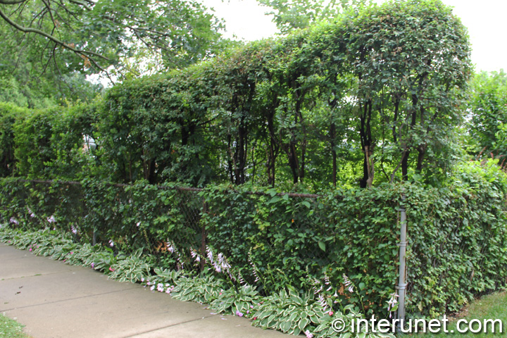 Two Levels Hedge With Chain Link Fence Interunet